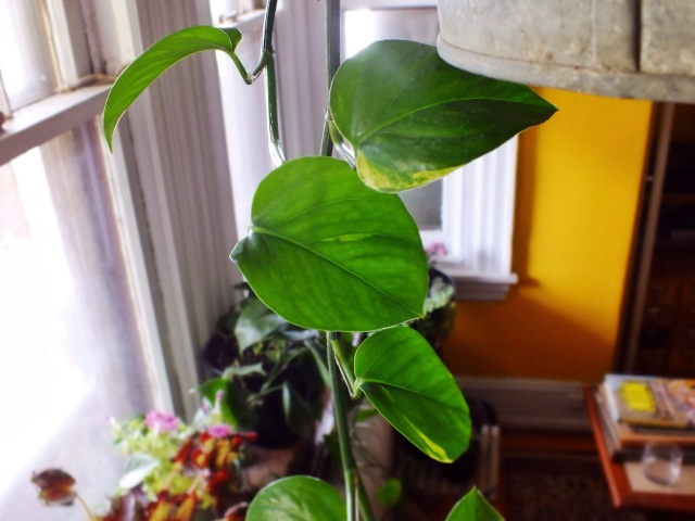 Philodendron | The Projectory
