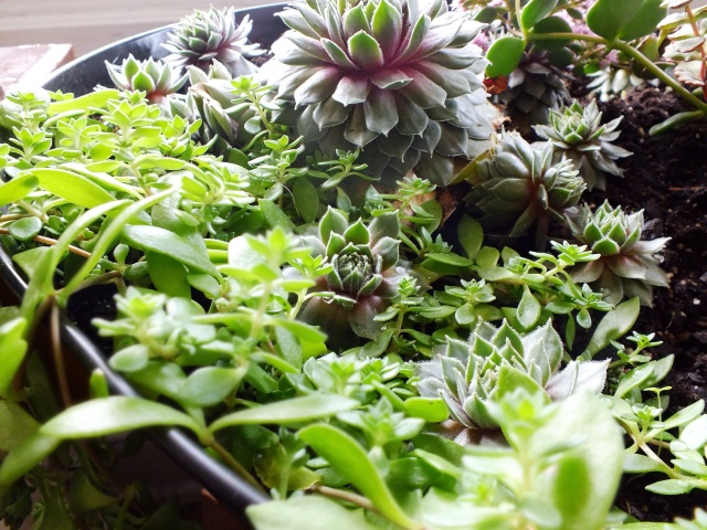 Hens and chicks in a container garden | The Projectory